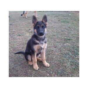 German Shepherd Adopt Dogs Puppies Locally In Ontario Kijiji