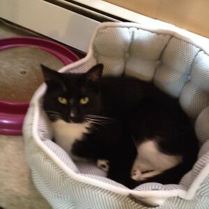 Missing male nudered  black and white cat