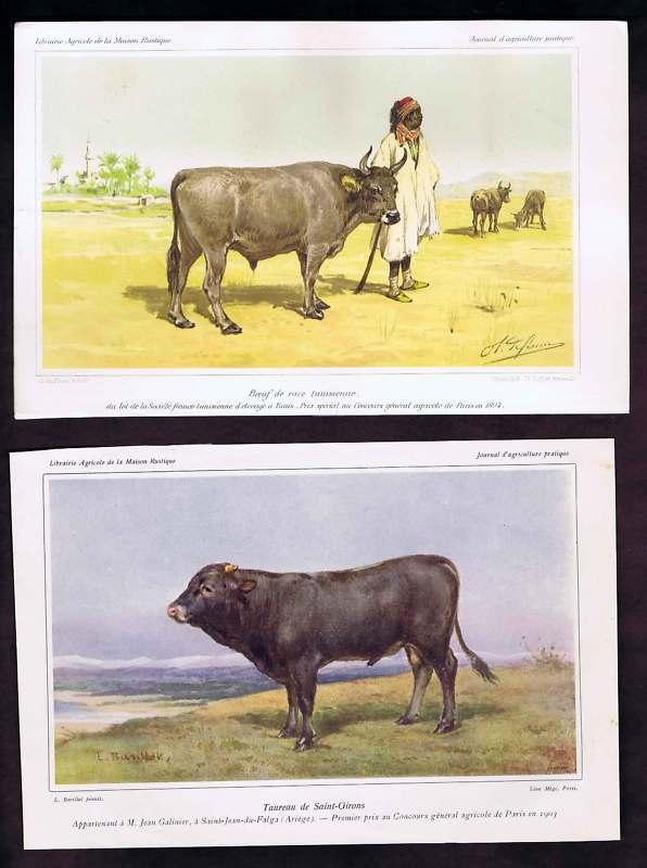 Tunisian Cattle & Bull Saint-Girons - 1903 Color Prints