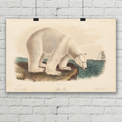 Polar Bear Vintage Animal Art Print Canvas Poster Audubon Nature Illustration  Animal Art Vintage Animal
