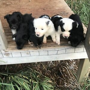 Smithfield x pups for sail Clarence Point West Tamar Preview