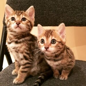 Purebred Bengal Kittens - Only 2 left