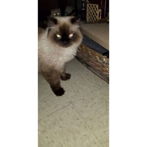 Seal Point Himalayan Kittens due April 1st