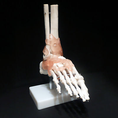 Life Size Foot Joint With Ligaments Anatomical Skeleton Model Medical Anatomy
