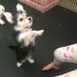 Pair of family raised Morkies now ready for homes