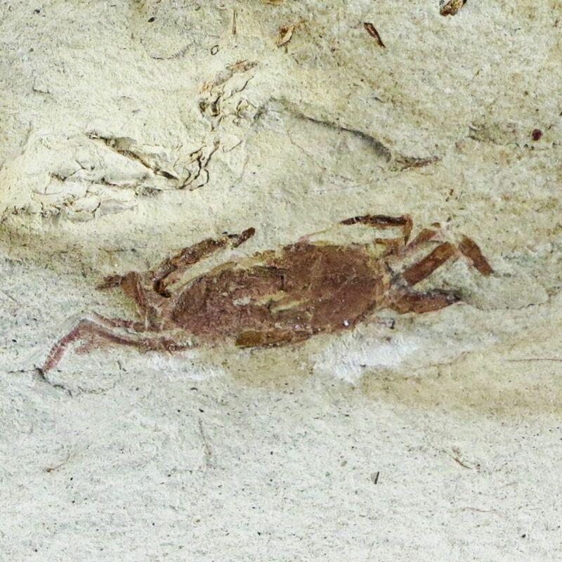 "1"" Fossil Crab Pinnixa Galliheri Pea Crab Monterey Cty San Luis Obispo Miocene"