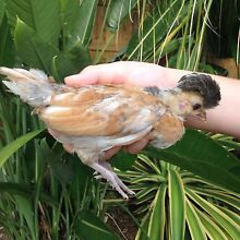 Polish Crested and Pekin bantam chicks varied ages Helensvale Gold Coast North Preview