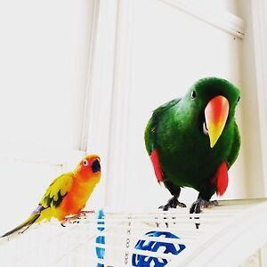 Male Eclectus looking for girlfriend Stanmore Marrickville Area Preview