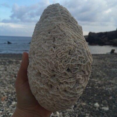 Natural White Caribbean Brain Coral Fossil, Ocean Salt Water Heavy, Fish Tank