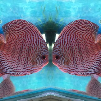 Lucky tropical and Chan Discus ready for sale -