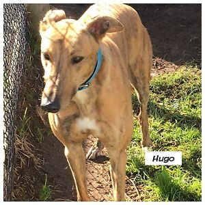 3 Foster Greyhounds available Devon Meadows Casey Area Preview