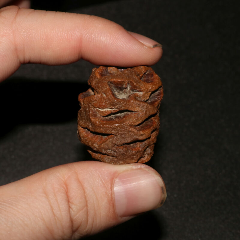 Meta Sequoia Pine Cone Fossil - Hell Creek Formation Cretaceous  - Very Large