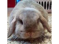 Home bred pedigree mini lop rabbits