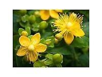 Hypericum Plant - St John's Wart