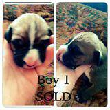 Boxer/Bernese Mix Puppies