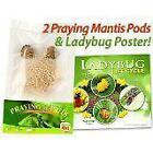 Praying Mantis Eggs