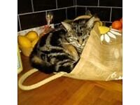 Lost from Cefn Coed merthyr Tydfil female tabby cat