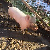 Young female pig or gilt