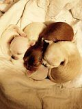Four Chihuahua puppies