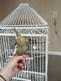 2 cockatiels 4 sale with large cage