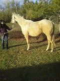 2 TOP PALOMINO RANCH OR ROPE PROSPECTS