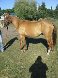 GREAT PROJECT HORSE, ALSO TRAINED TO DRIVE, BOTH SIDES
