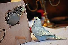 *15 MULTICOLOUR BABY BUDGIES - $50 EACH - ALL FULLY HANDRAISED* Kenwick Gosnells Area Preview