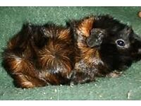 2 male guinea pigs with large cage