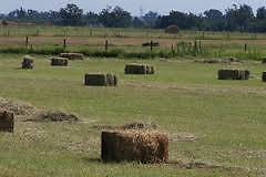 Square hay/lucerne hay bales for sale Hinton Port Stephens Area Preview