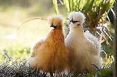 Chicks - Silkies Absolutely Gorgeous Mixed Colours