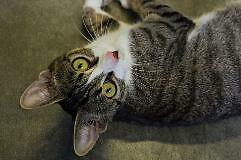 Young Female  - Domestic Short Hair - brown-Tabby - Brown