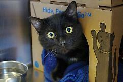 """Young Male Cat - Domestic Short Hair-black: """"Blackie"""""""