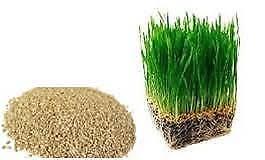 Wheat grass seeds 1kg