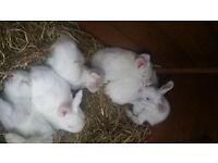 Gorgeous Albino Angora baby Rabbits.