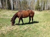 4 yr old solid paint Gelding REDUCED TO SELL