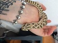 Western Hognose (Unsexed) for Sale
