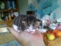 1 tabby and white male sweet, cute and cuddly kitten for sale.
