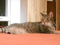 "Senior Male Cat - Domestic Short Hair: ""Maxou"""