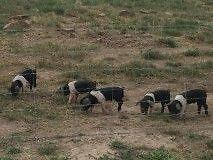 Wessex Saddleback Piglets - Full Blood Oberon Oberon Area Preview