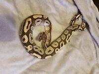 Mojave Python
