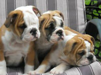 ADORABLE ENGLISH BULLDOGS