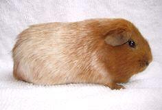 ISO: TEDDY GUINEA PIG