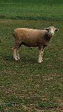 Ten purebred and registered Polled Dorset Ewes