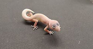 gecko léopard blazzing blizzard (reptile, lézard)