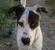 Sharpei X (Dan) is ready for adoption
