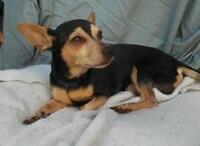 "Adult Male Dog - Dachshund-Chihuahua: ""CROMBIE"""