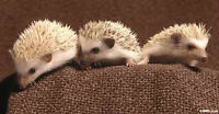 Baby hedge hogs ready April 24th $250 each