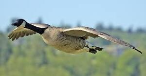 LOOKING FOR FARMLAND TO HUNT - Geese and/or Duck