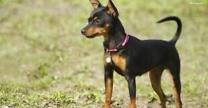 Looking for a Miniature Pinscher