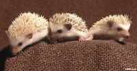 5 baby hedge hogs $250 each available April 24th